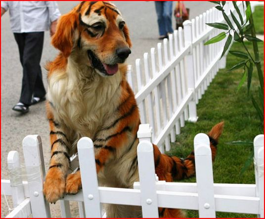 Dog Dyed Like Tiger